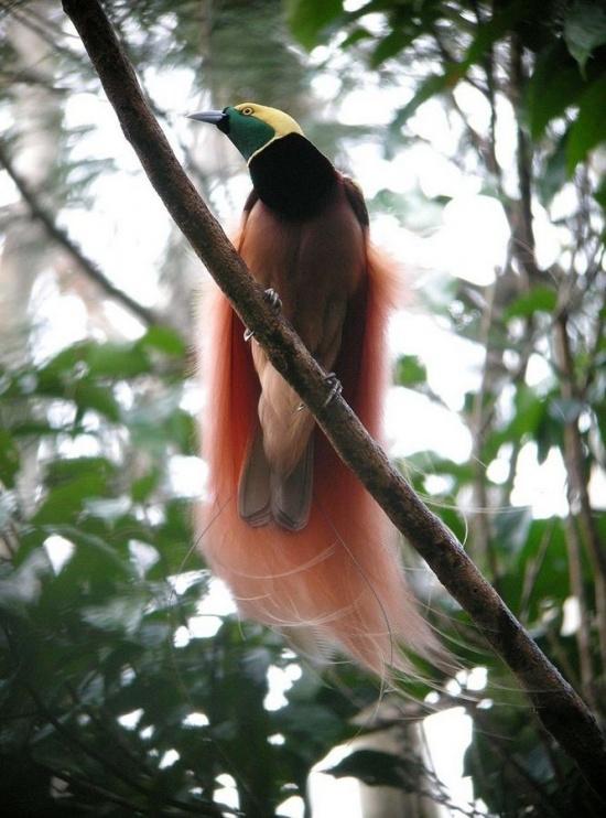 ציפור גן-עדן (Paradisea raggiana) Credit: Mark Harper